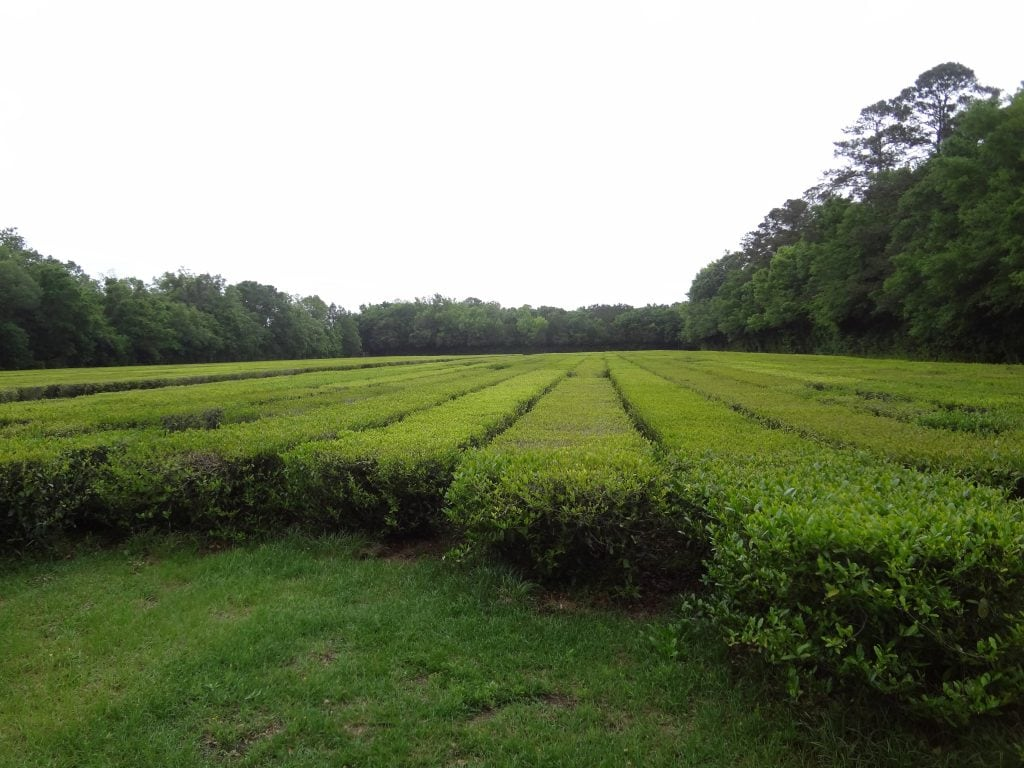 charleston tea plantation plants